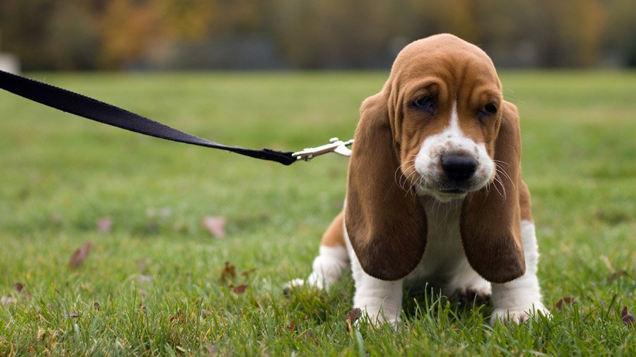 1481393280_basset-hound-dog-photo-9